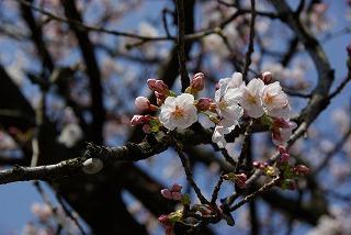 桜の花も咲き始めて…